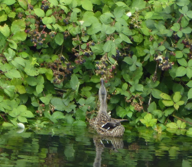 Mallard Tasting Blackberries