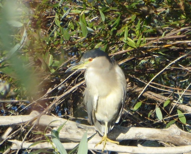 black-crowned Night-heron – Version 2