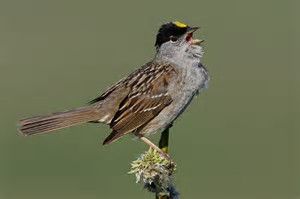 Golden Crown Sparrow