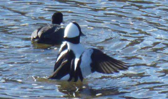 Bufflehead displaying