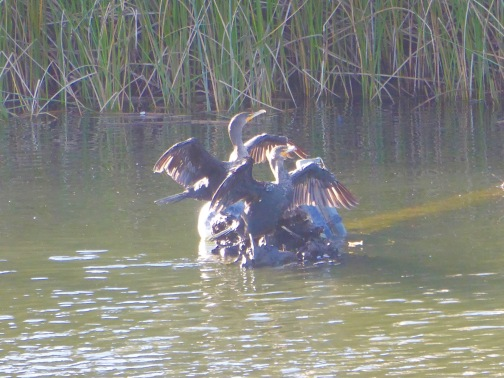 Cormorants drying out
