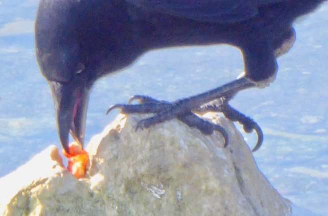 crow with red cany best